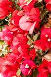 bougainvilleaen blommar red arkivbild
