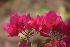 bougainvilleaen blommar red Arkivfoton