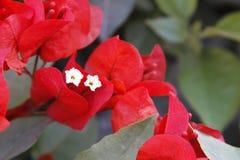 bougainvilleaen blommar red Fotografering för Bildbyråer