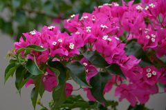 Bougainvilleaglabra Royalty-vrije Stock Foto's