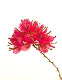 Bougainvilleahybrida, rosa pappers- blomma Royaltyfri Bild