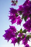 Bougainvillean blommar i ljusa lilor Royaltyfri Bild
