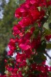 Bougainvillean blommar i ljust rött Arkivfoton
