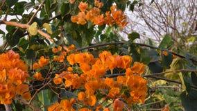 Bougainvillean blommar i trädgård stock video