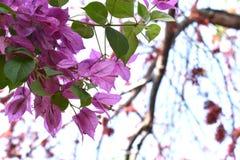 Bougainvillean blommar i trädgården Royaltyfria Foton