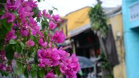 Bougainvillean blommar på gatan arkivfilmer