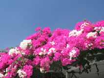 Bougainvilleas. Red and white bougainvillea flowers royalty free stock images