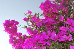 Bougainvilleas. In the country side of central valley, costa rica, central america Stock Image