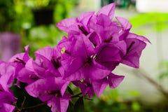 Bougainvilleas de florescência cor-de-rosa Imagem de Stock Royalty Free