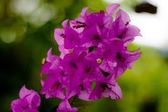 Bougainvilleas de florescência cor-de-rosa Fotografia de Stock Royalty Free