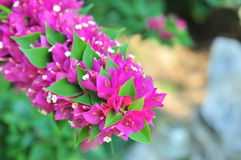 Bougainvilleas flowers Royalty Free Stock Photography