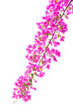 Bougainvilleas Royalty Free Stock Images