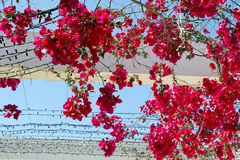 Bougainvilleas Royalty Free Stock Photo