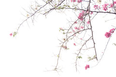 Bougainvilleas Stock Photography