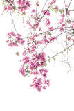 Bougainvilleas Stock Images