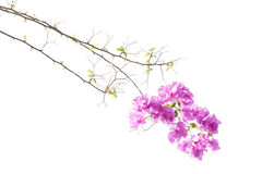 Bougainvilleas Royalty Free Stock Image