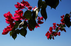 Bougainvilleas. Tree and a blue sky Royalty Free Stock Image