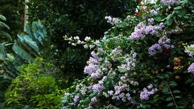 Bougainvilleas in the tropical garden. A shot of white bougainvilleas in a tropical garden stock video footage