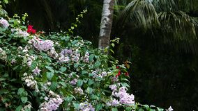 Bougainvilleas in the tropical garden. A shot of white bougainvilleas in a tropical garden stock footage