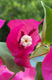 Bougainvilleasp tät blomma upp Royaltyfri Bild