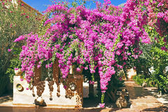 Bougainvillia blossoming Royalty Free Stock Photos