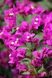 Bougainvillia rosa luminoso in spiaggia di Pismo della fioritura, California immagini stock