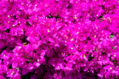 Bougainvilliea Stock Photos