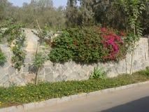 Bouganvillée au-dessus d'un mur en pierre à Lima Images stock