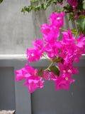 Bouganvillée B spectabilis Photo libre de droits