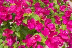 Bouganvillée de fleur photo stock