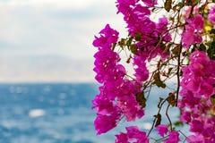 Bouganvillée de Grèce Photographie stock libre de droits