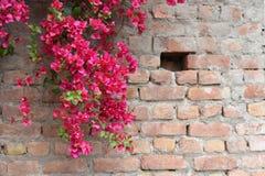 Bouganvillée en pleine floraison sur le béton et le mur de briques Image stock