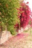 Bouganvillée en pleine floraison sur le béton et le mur de briques Photo stock