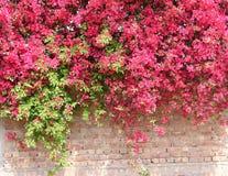 Bouganvillée en pleine floraison sur le béton et le mur de briques Images stock