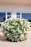 Bouganvillée exotique de fleurs dans le blanc de l'Egypte image libre de droits