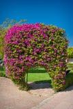 Bouganvillée exotique de fleurs dans le rose blanc de l'Egypte sous forme de photo stock