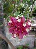 Bouganvillée, fleur de papier photographie stock