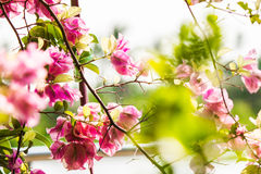 Bouganvillée fleurissante Image stock