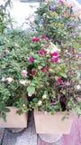 Bouganvillée fleurissante Images stock