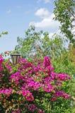 Bouganvillée renversante et colorée sur le mur de la villa en Espagne Images stock