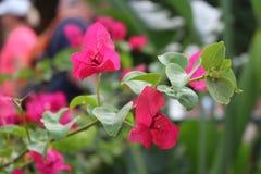 Bouganvillée rose Photos libres de droits