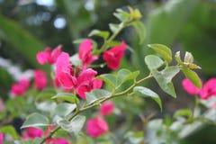 Bouganvillée rose Photographie stock libre de droits