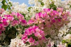 Bouganvillée rose Image libre de droits