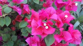 Bouganvillée rose Photo libre de droits