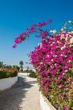 Bouganvillée rose de fleurs exotiques en Egypte images libres de droits