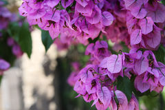 Bouganvillée rose lumineuse Photo stock