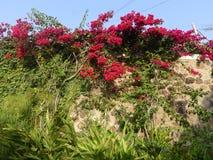 Bouganvillée rouge au-dessus d'un mur en pierre à Lima Photographie stock libre de droits