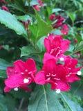 Bouganvillée rouge avec les feuilles vertes Image libre de droits