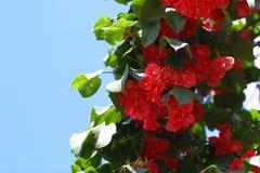 Bouganvillée - variété hawaïenne d'écarlate Photo stock