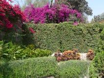 Bouganvillées rouges au-dessus d'une usine et des murs en pierre à Lima Images stock